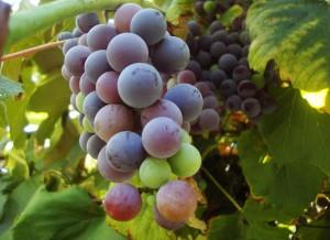 Le vin de Marcillac